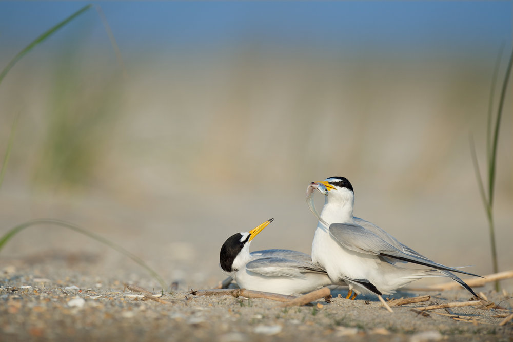 16_Courting Least Terns.jpg