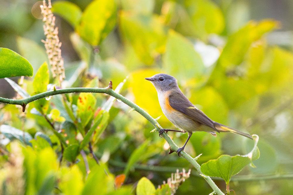 07_Juvenile American Redstart.jpg
