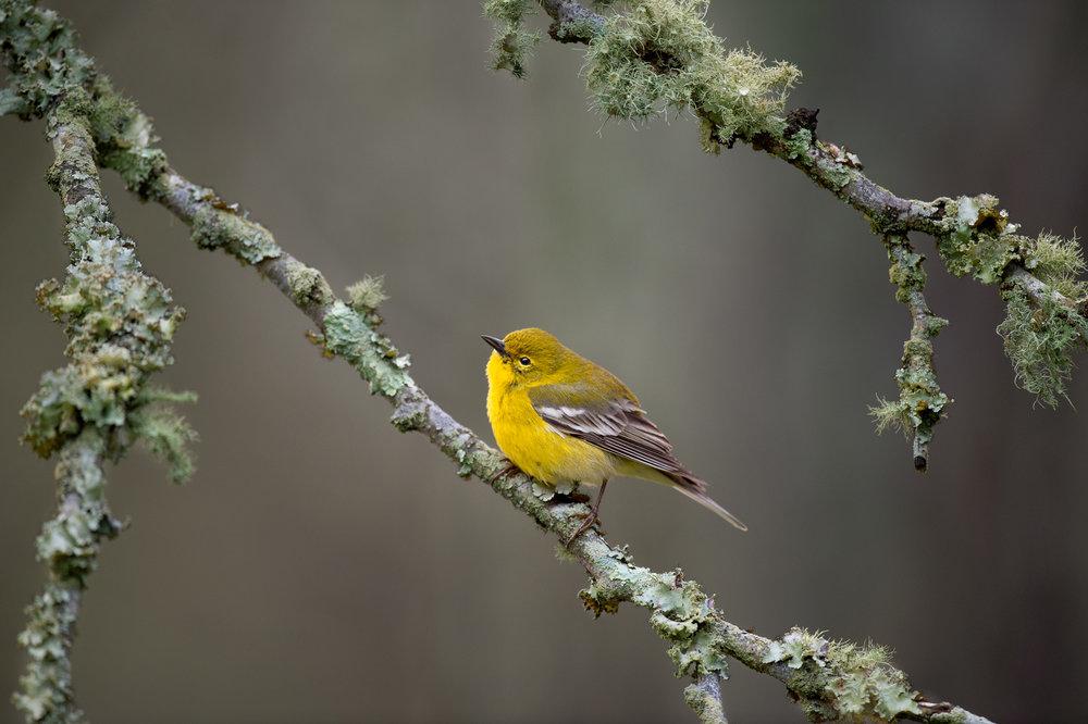 04_Pine Warbler and Lichen.jpg