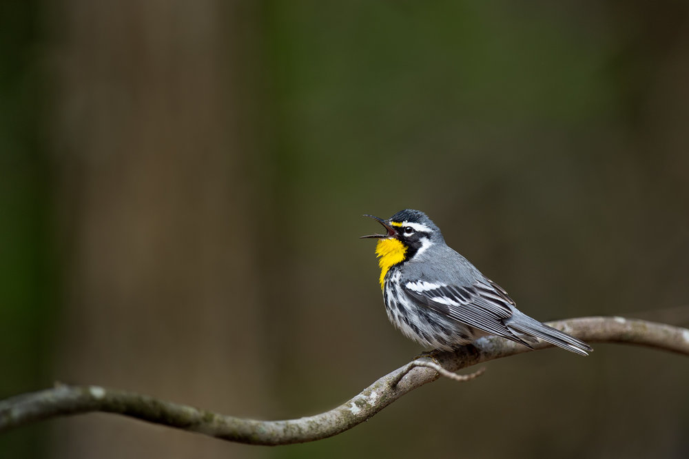 10_Singing Yellow-throated Warbler.jpg