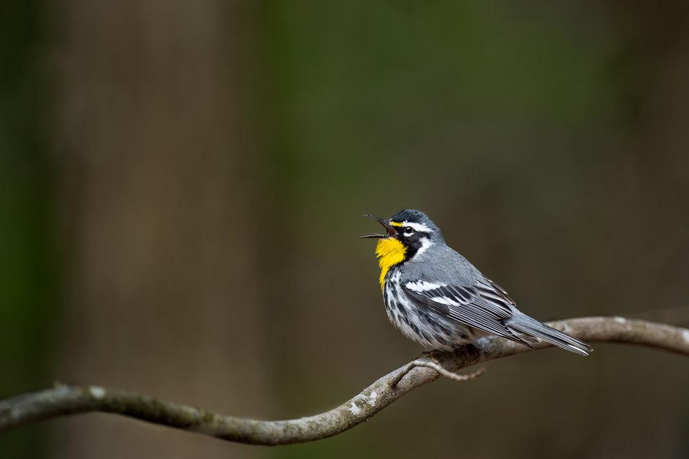 10_Singing Yellow-throated Warbler.jpg