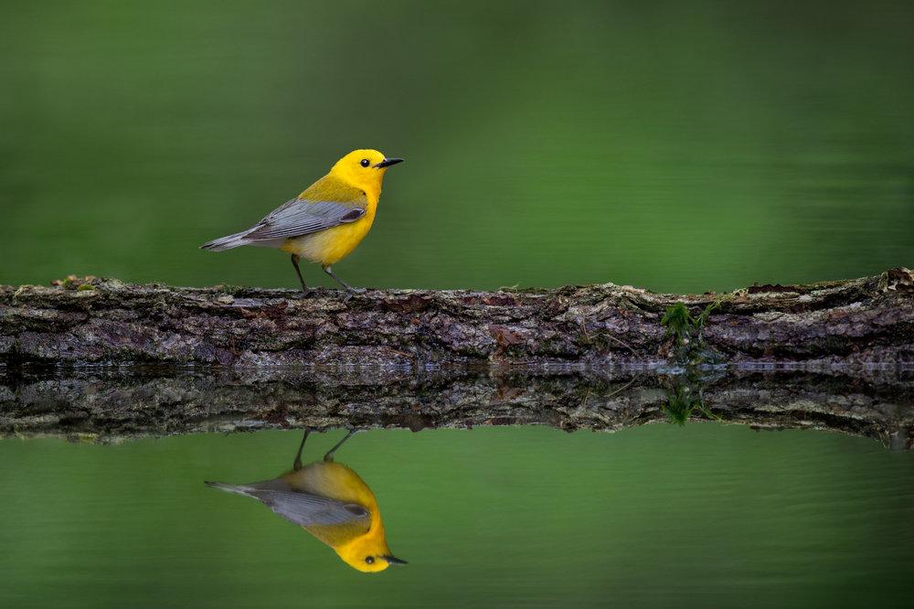 11_Prothonotary Mirror.jpg