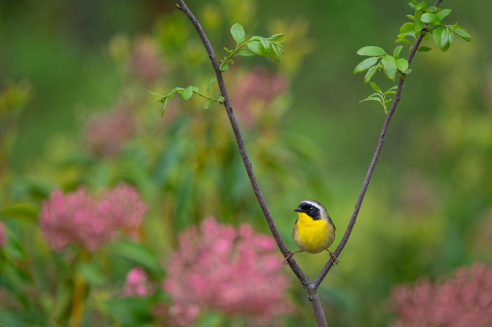 27_Yellowthroat Split.jpg