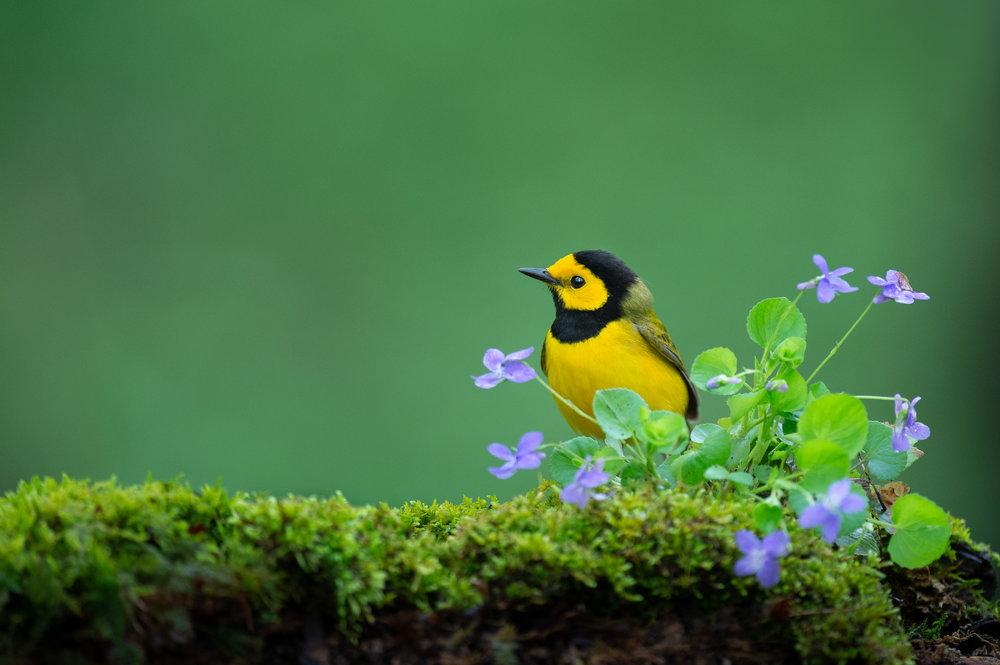 30_Hooded Warbler with Flowers.jpg