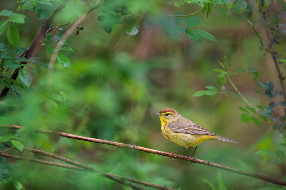 35_Palm Warbler.jpg