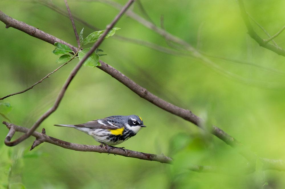 39_Yellow-rumped Warbler.jpg