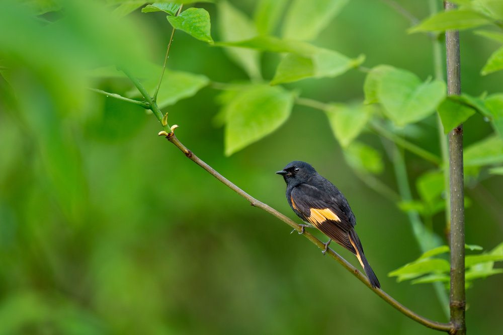 03_Redstart Lookback.jpg