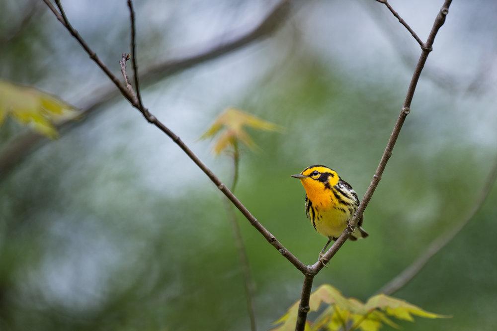 10_Blackburnian Warbler.jpg