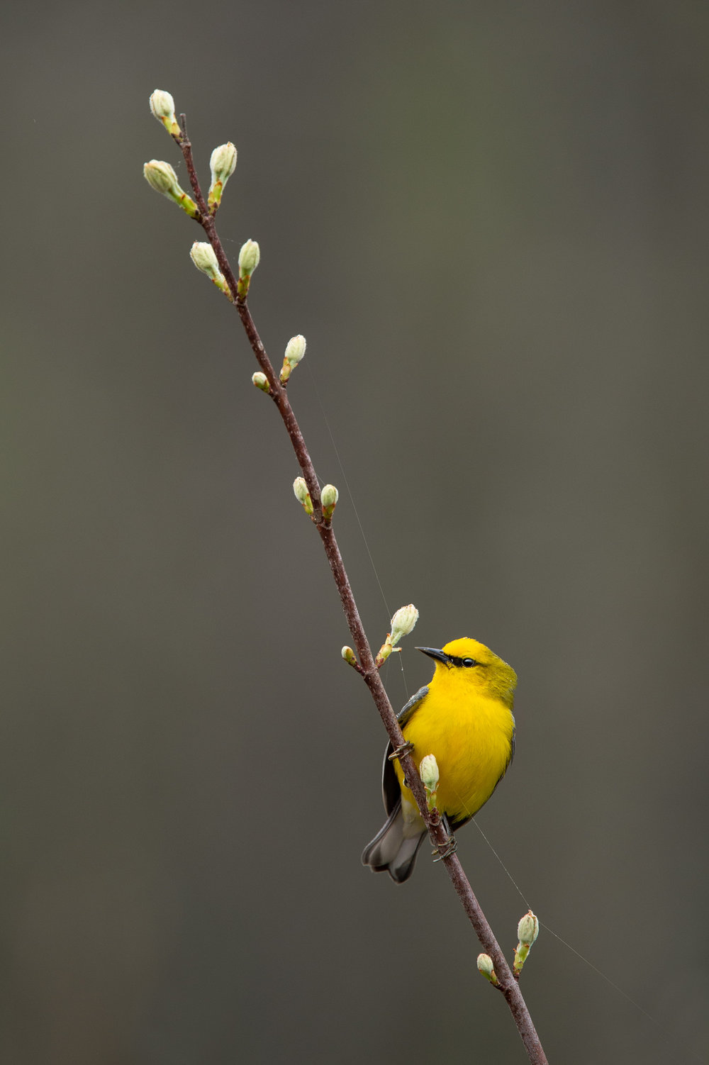 12_Blue-winged Warbler Portrait.jpg