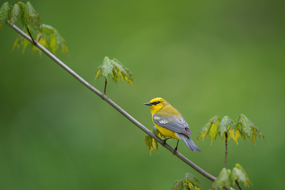 13_Spring Blue-winged Warbler.jpg