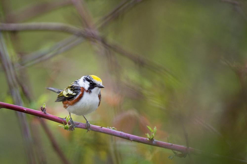 20_Chestnut-sided Warbler.jpg