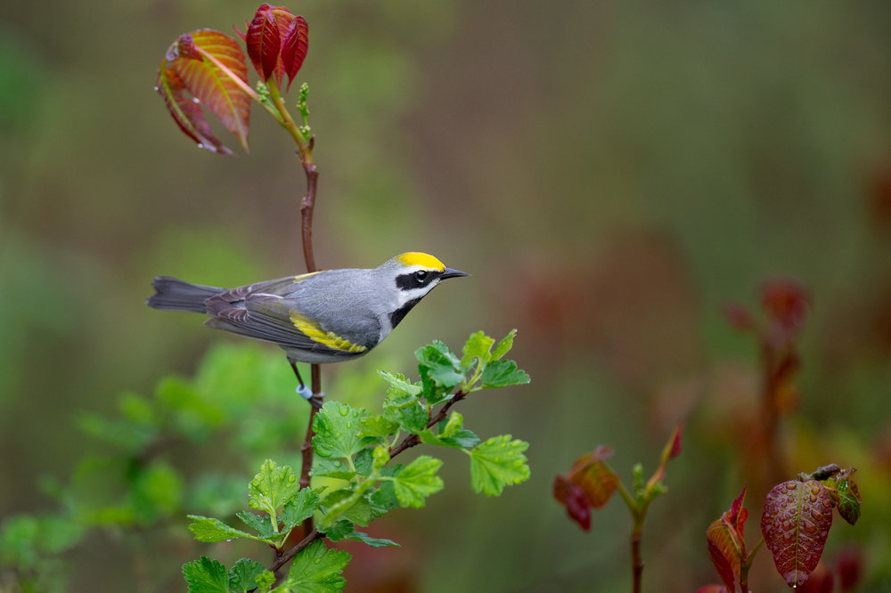 24_Sleek Golden-winged Warbler.jpg