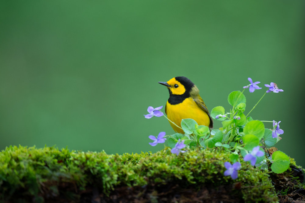 27_Hooded Warbler with Flowers.jpg