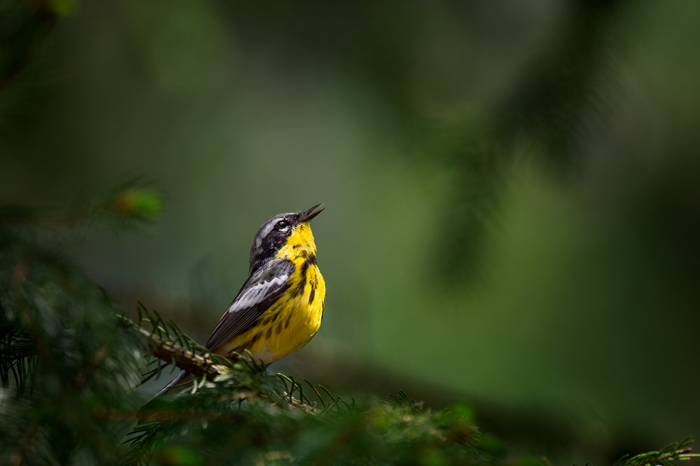 30_Magnolia Warbler.jpg