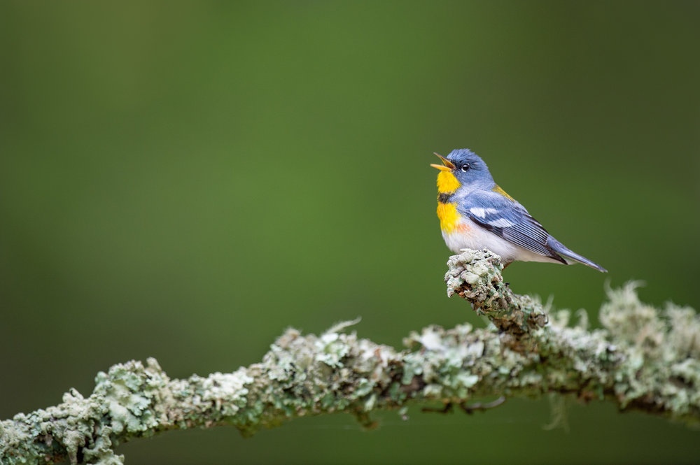 34_Singing Northern Parula.jpg