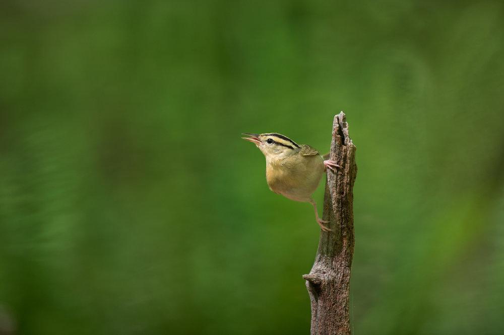 42_Worm-eating Warbler.jpg