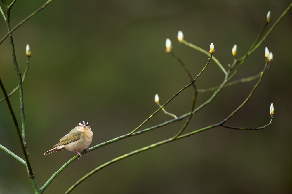 41_Worm-Eating Warbler and Curves.jpg