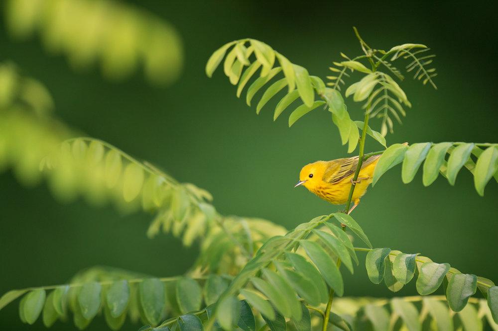 46_Yellow Warbler in Morning Sun.jpg