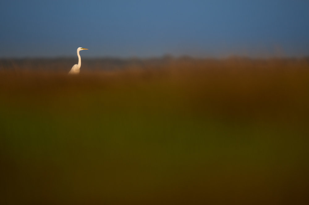 01_Great Egret in the Marsh.jpg
