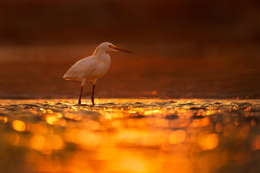 01_Snowy Egret at Sunrise.jpg