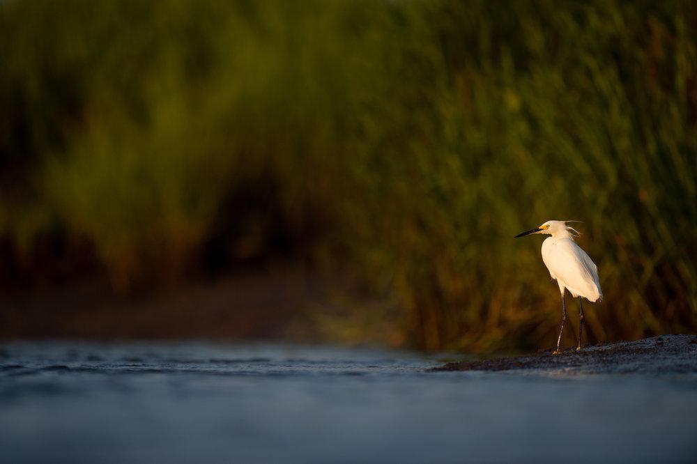 05_Snowy Egret.jpg