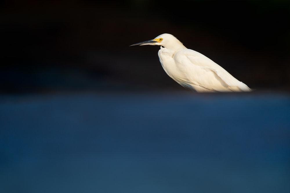 07_Snowy Egret.jpg