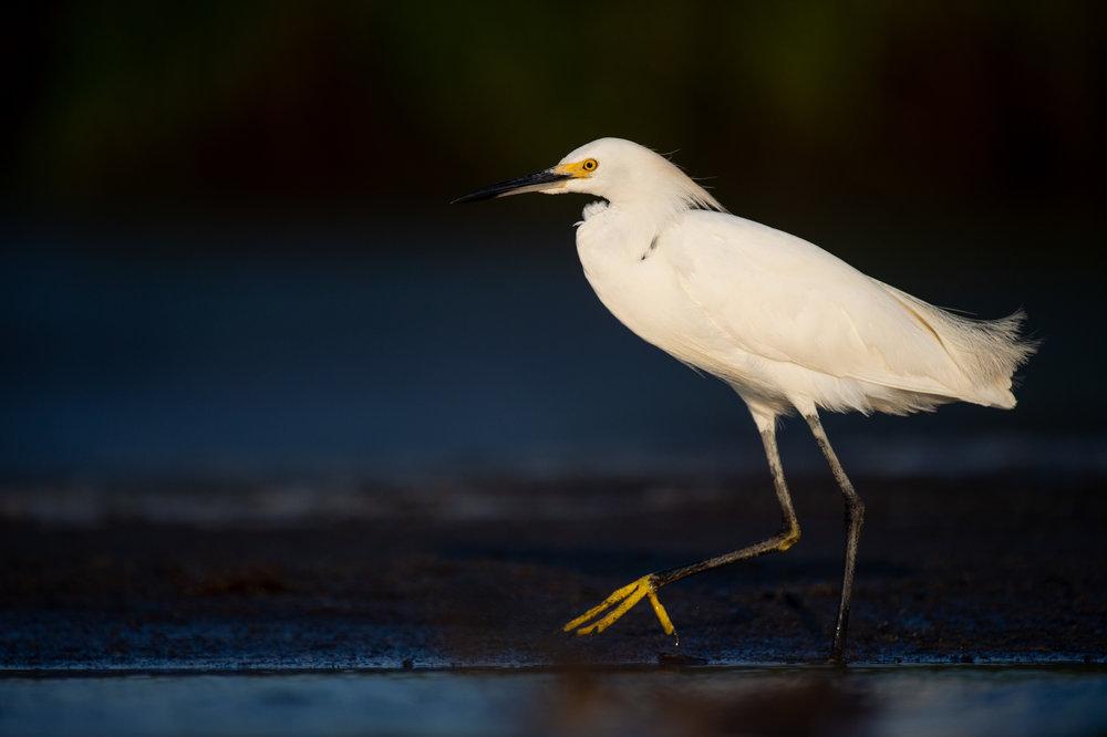 08_Snowy Egret.jpg