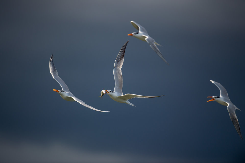 023_jersey_shorebirds.jpg