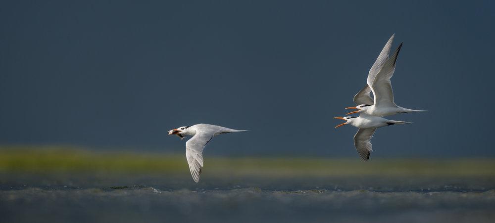 024_jersey_shorebirds.jpg