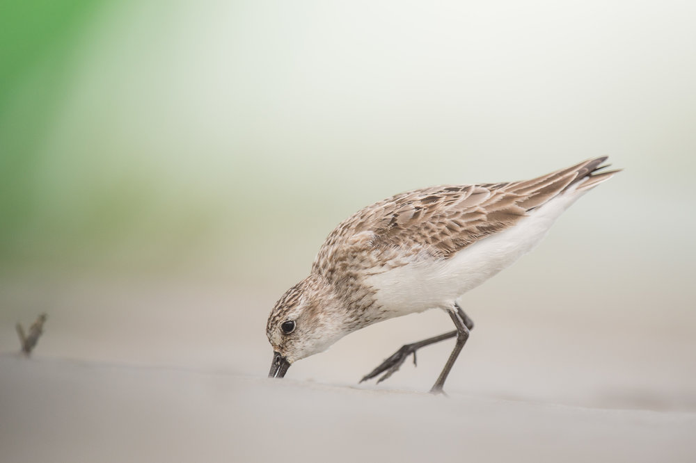 037_jersey_shorebirds.jpg