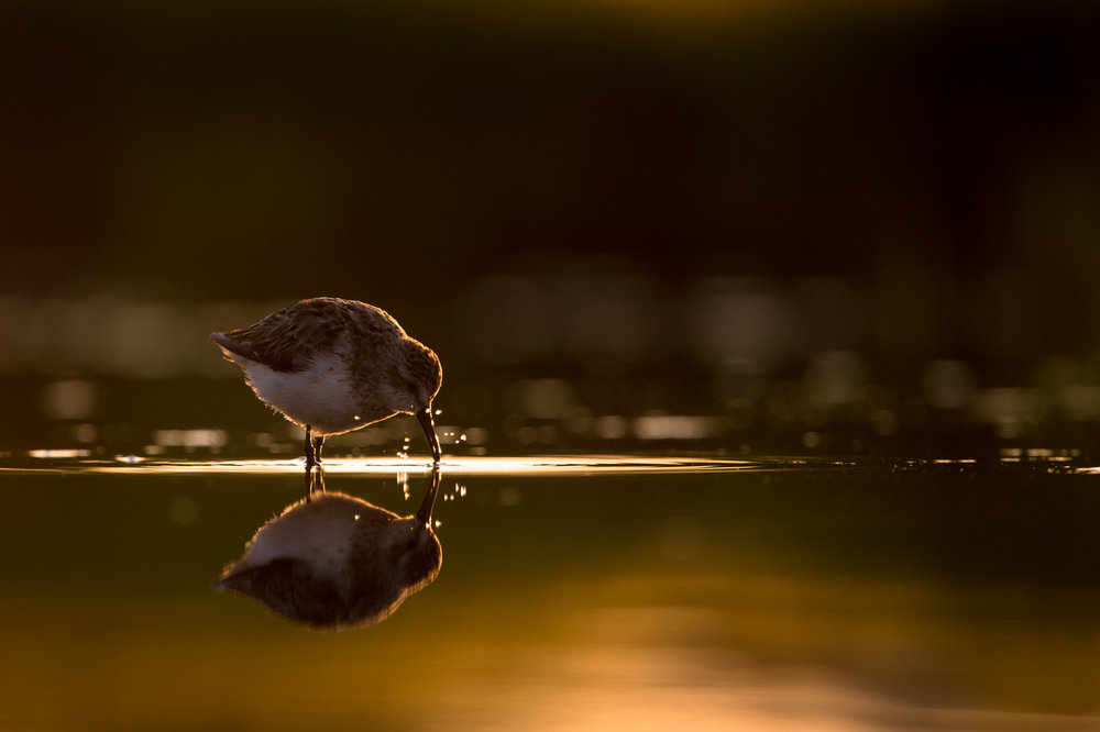 004_jersey_shorebirds.jpg