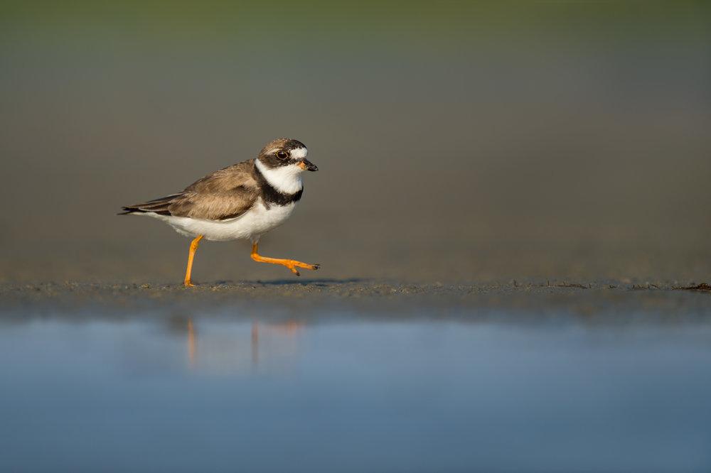 019_jersey_shorebirds.jpg