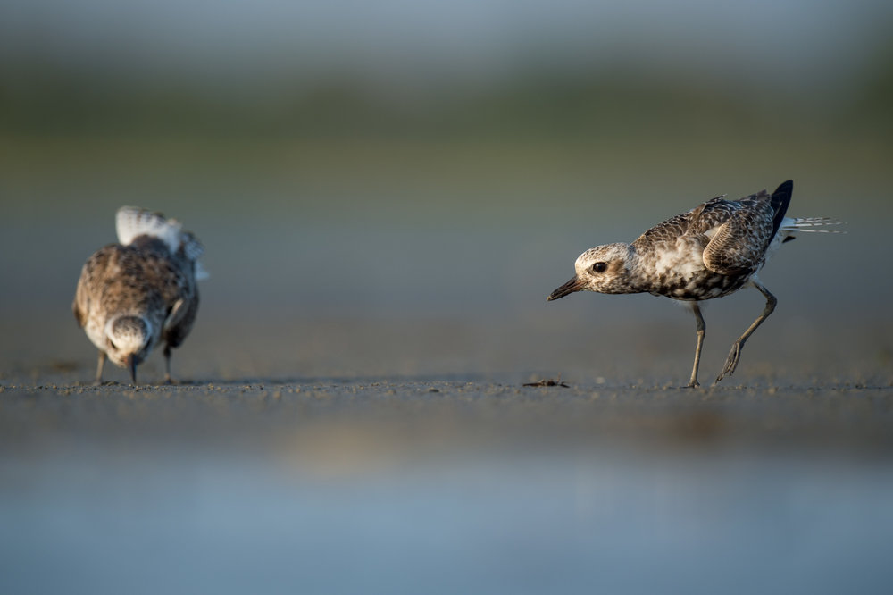 021_jersey_shorebirds.jpg