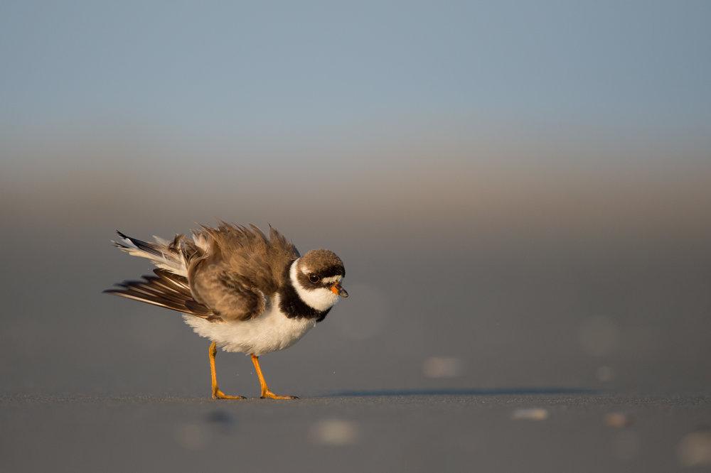 009_jersey_shorebirds.jpg