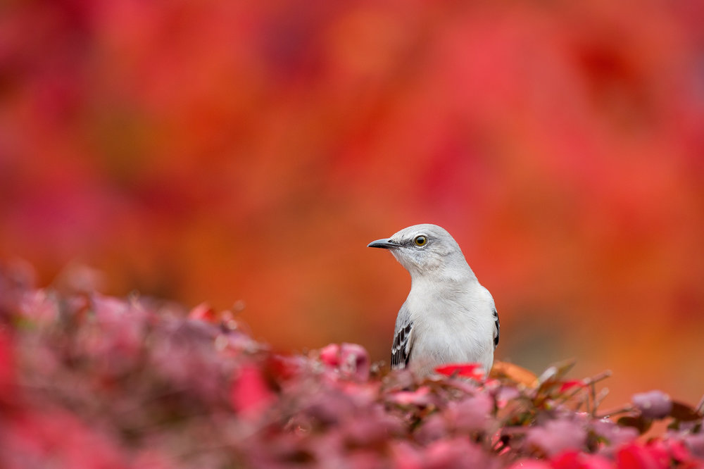 The noisy but common Northern Mockingbird.