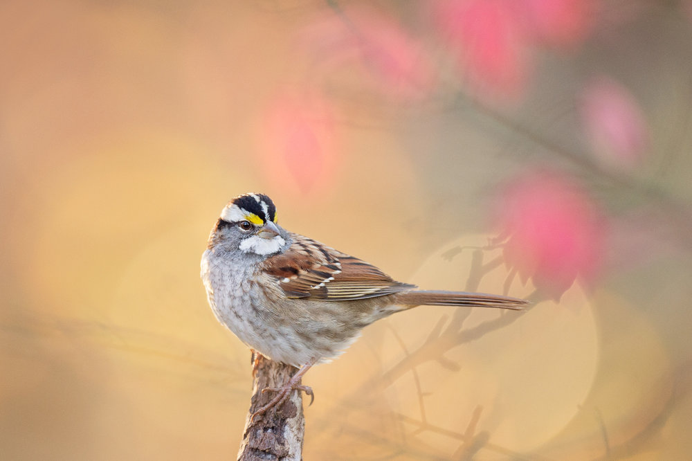 A close portrait of a White-throated Sparrow with splashes of pink out of focus leaves in the background.