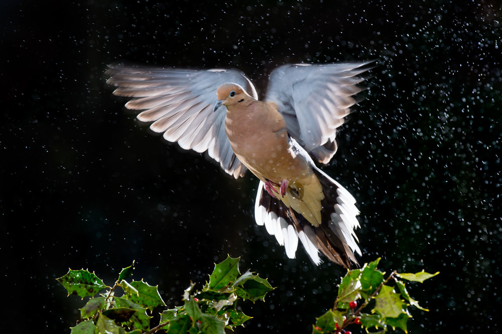 I caught this Mourning Dove coming in for a landing during some light rain. The flashes helped to make the rain stand out and nearly freeze the flapping wings.