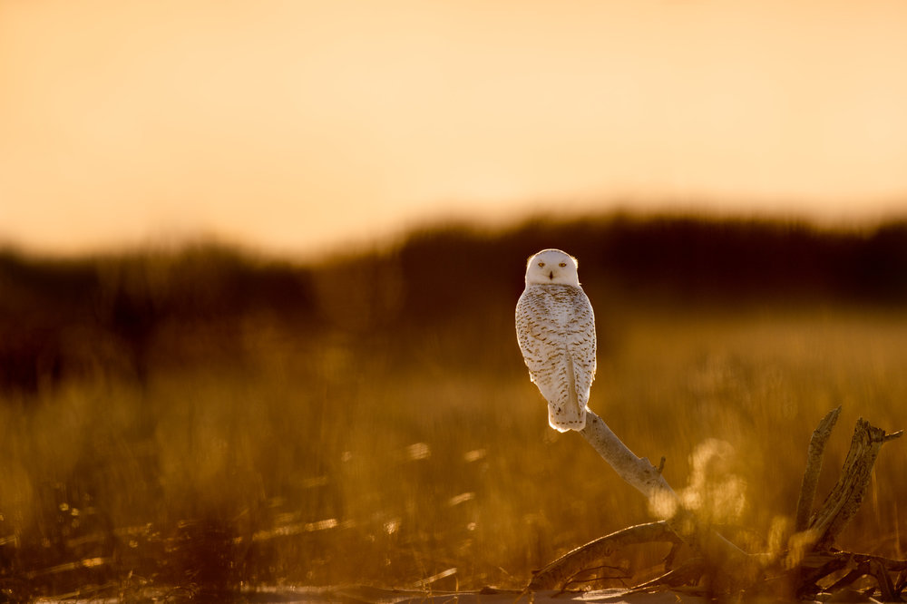 Spending an entire day from before sunrise to after sunset and hiking well over 10 miles of sandy beach went into capturing this back-lit photo of a Snowy Owl.