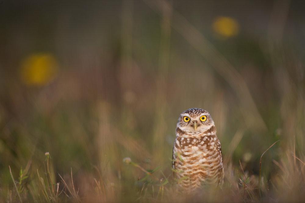 02_Florida Burrowing Owl Story.jpg
