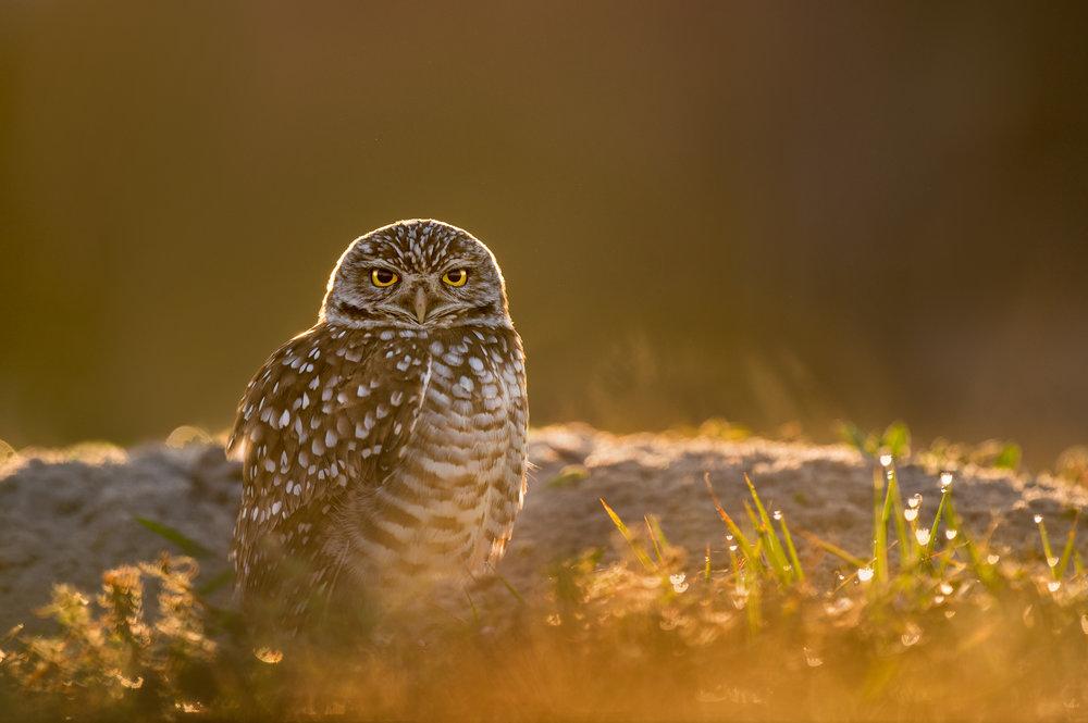 01_Glowing Burrowing Owl.jpg