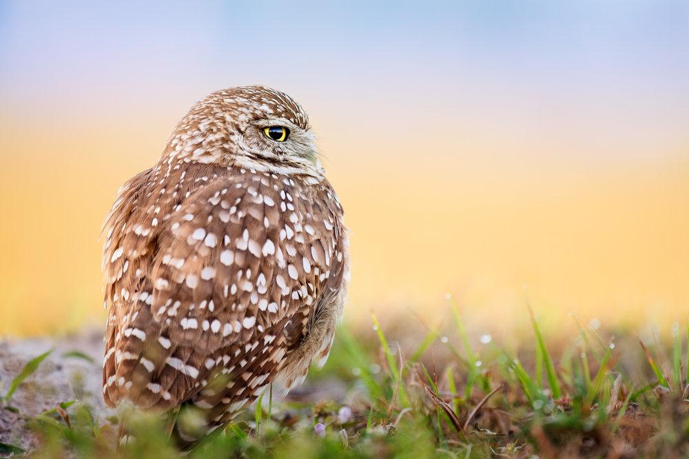 03_Burrowing Owl Portrait.jpg