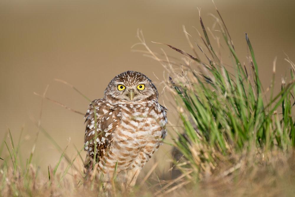 07_Fluffy Owl.jpg