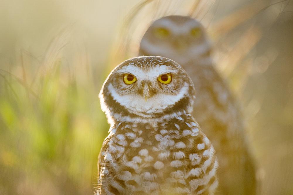 09_Burrowing Owl Pair.jpg