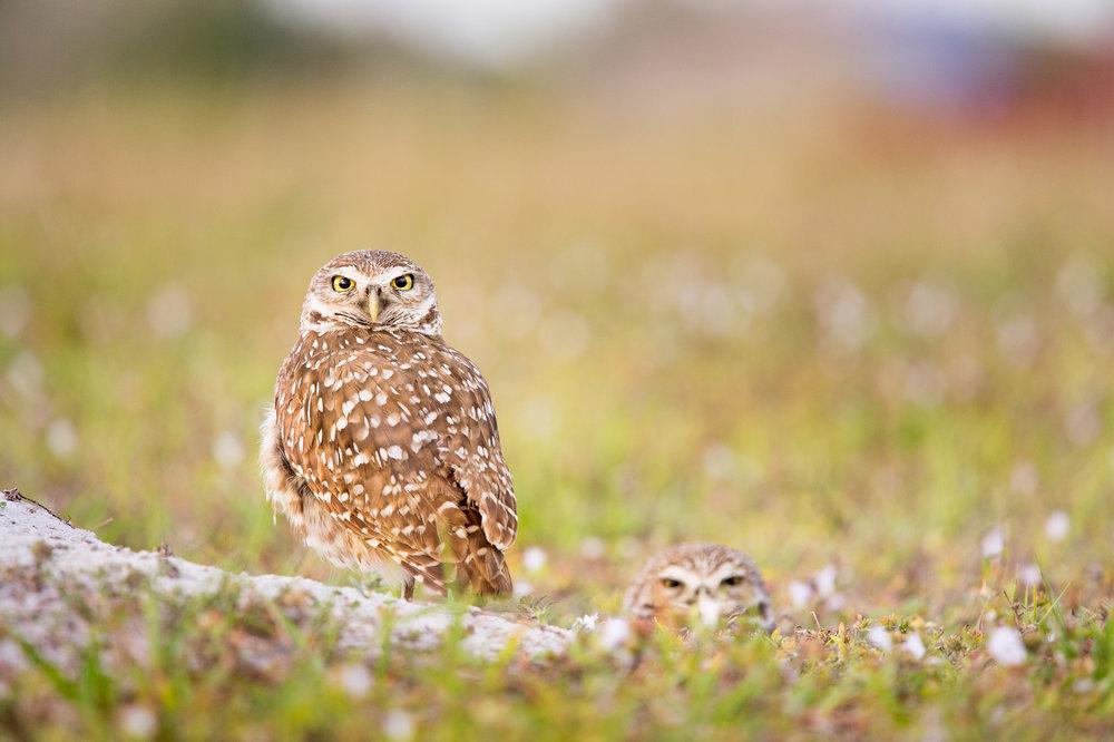 11_Burrowing Owl Pair.jpg