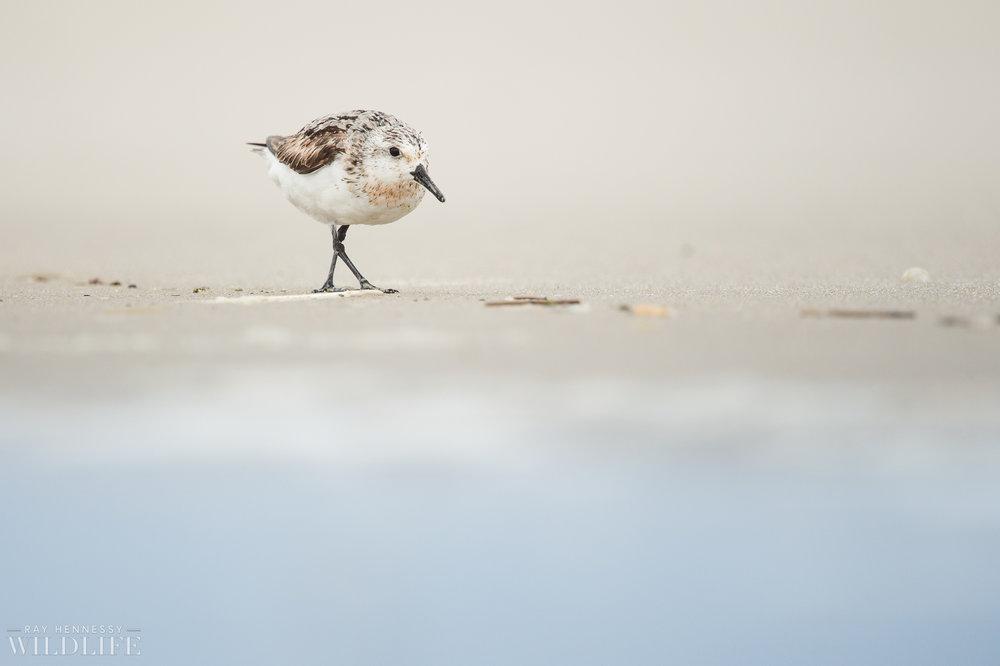 003_fall shorebirds.jpg