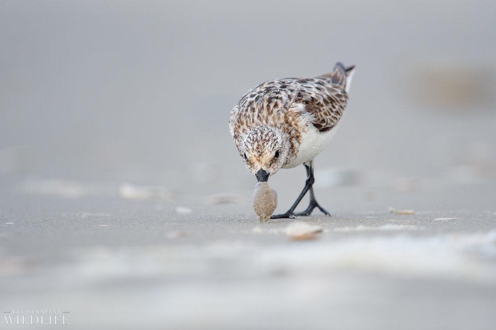 006_fall shorebirds.jpg