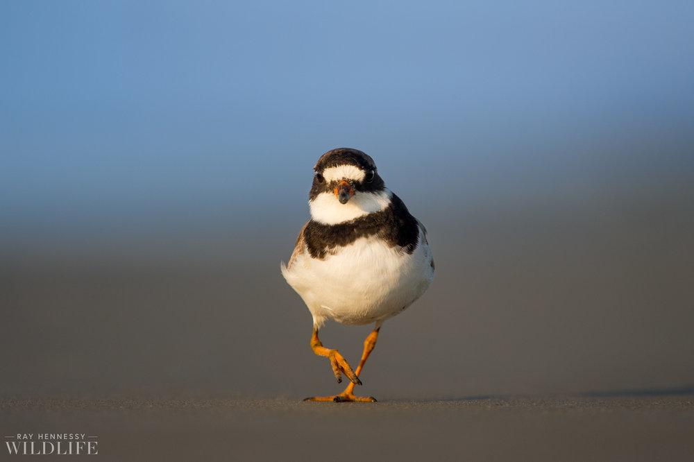 011_fall shorebirds.jpg