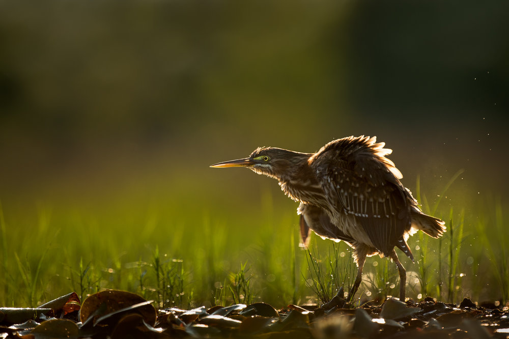 Fluffy Green Heron.jpg
