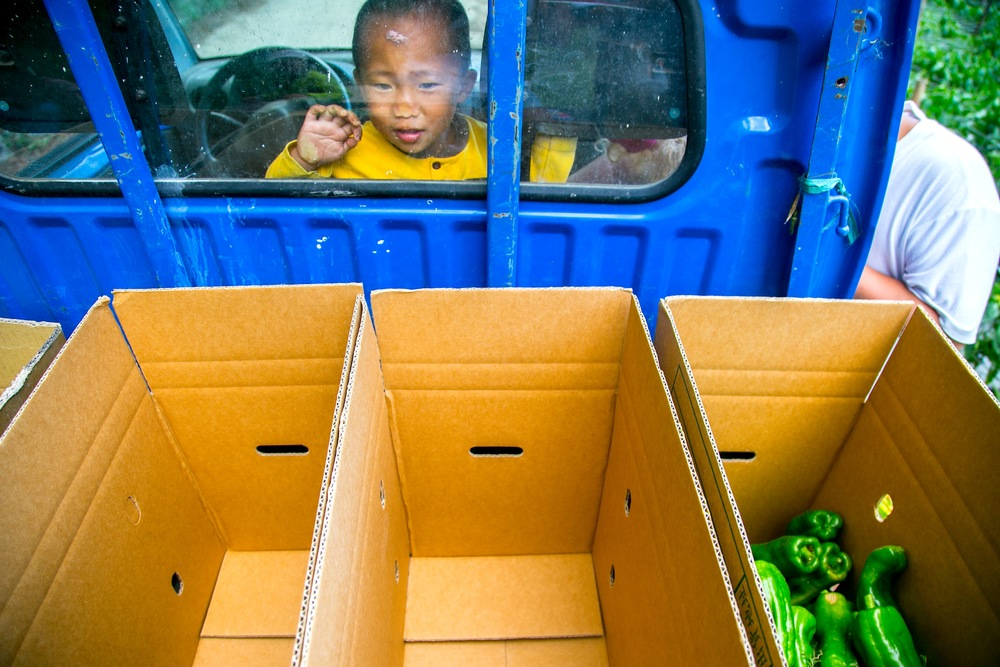 green pepper harvest season in the mountains of taiwan. since its the summer time, kids join their parents to the farm, to help or simply stay in the truck and play with bypasser.