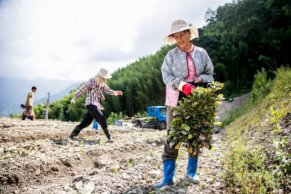 planting cabbages on the mountains of Hsinchu/新竹, Taiwan.